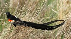 File:Longtailed Widowbird, Euplectes progne in early summer breading plumage at Rietvlei Nature Reserve, Gauteng, South Africa (15668578125).jpg