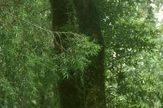 Podocarpus saligna