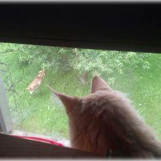 Cats MaineCoon