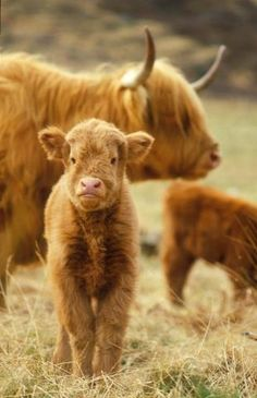 Highland cattle.. IT'S SO FLUFFY I'M GONNA DIE