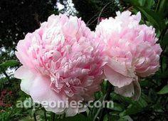 Flower Pots, Flowers, Garden Paths, Peony, Garden Design, Bloom, Nursery, Angel, Rose