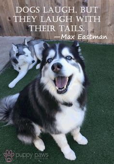 #Dogs laugh, but they laugh with their tails.- Max Eastman #DogsOfTwitter #DogLovers #DogBoarding