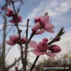 Meine Pfirsiche blühen! #spring #frühling #food #gardening #nature #flowers