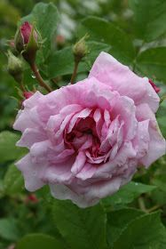 gammaldags buskros rosa Flowers, Plants, Plant, Royal Icing Flowers, Flower, Florals, Floral, Planets, Blossoms