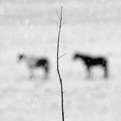 Winter Horses   Winter Horses Title: Winter Horses ~ Image Size: 20 x 20 / print only / limited edition of 50 ~ This is a black and white archival pigment print made on premium quality cotton rag fine art paper with a matte finish. Print comes signed, dated, and numbered on the back with a C.O.A. Ships flat via USPS priority mail and is carefully packaged for safe delivery.  http://www.finelifeart.com/winter-horses-2/