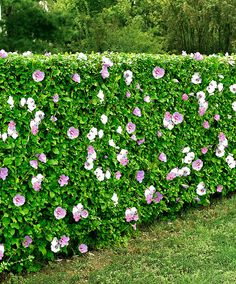 Shrubs Rose of Sharon (Hibiscus syriacus): hedge, flowers, salt tolerant Fast Growing Privacy Shrubs, Shrubs For Privacy, Privacy Screens, Hedges Landscaping, Garden Hedges, Hibiscus Garden, Hibiscus Plant, Blue Hibiscus, Flowering Shrubs
