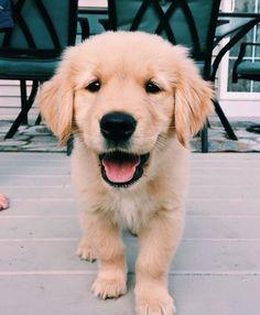 Super Cute Puppies, Cute Baby Dogs, Cute Little Puppies, Cute Dogs And Puppies, Cute Little Animals, Cute Funny Animals, Doggies, Lab Puppies, Puppy Husky