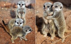 Three-week-old meerkats play at Bristol Zoo Gardens. Omw, SO cute.