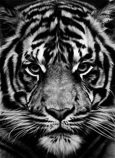 880 Meilleures Images Du Tableau Tigres Noirs En 2019 Marine Life