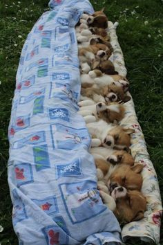 Single friend Single friend – Animals and pets … – Super süße tiere Cute Baby Dogs, Cute Dogs And Puppies, I Love Dogs, Puppies Puppies, Welsh Corgi Puppies, Adorable Puppies, Pembroke Welsh Corgi, Bulldog Puppies, Baby Animals Pictures