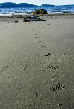 Raccoon Tracks A shot of some raccoon tracks leading out to the water on Blake Island in Washington State. raccoon tracks water Blake Island Washington State