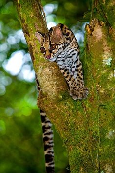 Margay, a jungle cat threatened by extinction, Arenal National Park, Costa Rica 15736 - ID: 8924070 © Jim Zuckerman