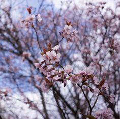Prunus sargentii in Mustila spring 2014. #mustila #rusokirsikka #bergkörsbär