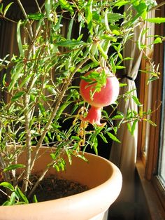 Urban Garden Casual» Grow Your Own Super Fruit: The Pomegranate
