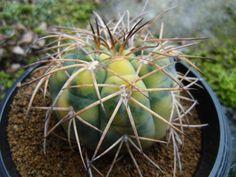 <Cactus, succulent> Gimuno heaven Hiramaru Nishiki _ image 3