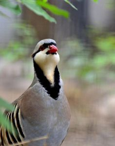 73709dbddb363 Chukar Partridge - Chukar Chicks for Sale | Cackle Hatchery Chicks For  Sale, Game Fowl
