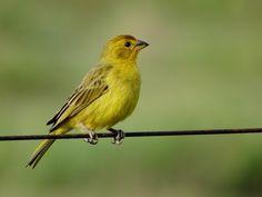 Foto canário-da-terra-verdadeiro (Sicalis flaveola) por Marco Marcos | Wiki Aves - A Enciclopédia das Aves do Brasil