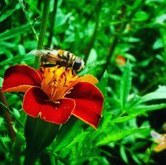Las abejas son insectos polinizadores que ayudan al proceso de reproducción de casi todas los frutos que consumimos diariamente por lo tanto dependemos de ellas para alimentarnos!  Existen otros insectos como esta mosca de la foto que se mimetiza con las abejas y que también poliniza las flores. Estaba sobre una flor de Marigold limpiandose sus patas cubiertas de polen.  Ayudemos a protegerlas a los polinizadores! Sembramos plantas con flores y evitemos el uso de plaguicidas.  Comparte con…