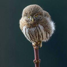 Beautiful owl fabulous photo. .!!  @crisp_image_photography -  Northern Pygmy Owl giving me a wink . Photo by Kevin Lippe @crisp_image_photography . #owl #owls #owllove
