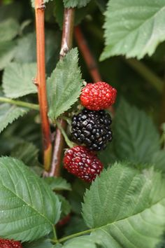 Berry growing tips (blackberries, strawberries, and raspberries).