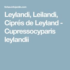 Leylandi, Leilandi, Ciprés de Leyland - Cupressocyparis leylandii