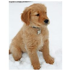 Trigger the Golden Retriever ❤ liked on Polyvore featuring animals, pets, dogs, puppies and pictures