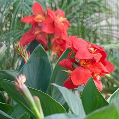 Name: Canna 'South Pacific Scarlet' Growing conditions: Sun Size: 24-30 inches tall, 18-24 inches wide Plant it with: Annual salvia Source:...