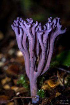 Violet Coral Fungus (Clavaria zollingeri) Coral fungi is also known as Club fungi. Mushroom Art, Mushroom Fungi, Mushroom Hunting, Wild Mushrooms, Stuffed Mushrooms, Foto Nature, Wild Nature, Nature Nature, Dame Nature