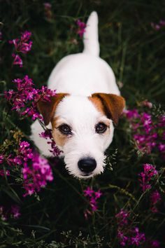 Pretty puppy in a field of flowers. White jack russel terrier doggo with pink flowers. Dog photography, hiking and adventuring with dog.