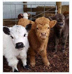 Miniature cows, too cute. - Miniature cows, too cute. Cute Baby Cow, Baby Cows, Cute Cows, Cute Baby Animals, Animals And Pets, Funny Animals, Barn Animals, Strange Animals, Fluffy Cows