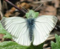 lanttuperhonen White Gardens, Moth, Scenery, Butterfly, Green, Nature, Cottage, Animals, Check