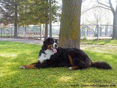Merlin, the Bernese Mountain Dog