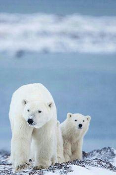 Canadian Polar Bears!