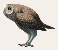 "Ornimegalonyx, a giant terrestrial owl from the Late Pleistocene of Cuba (~10,000 BCE). Standing 1.1m tall (3′7″) and weighing around 9kg (20lbs), it had long legs and was probably a very strong runner – but it was also nearly flightless.Long-legged ground-owls evolved convergently multiple times over the last few million years, with fossils known of ""stilt-owls"" in the Hawaiian Islands."