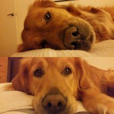 My gorgeous #goldenretriever  #inthevortex having a nap on Mum & Dad's bed!  #goldenretrievers #goldenretrieverlove #crazysillypets #doglovers