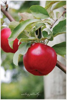 beautiful red apple picture