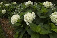 Easy To Grow Houseplants, Endless Summer Hydrangea, Perfect Plants, Live Plants, Flowers, Royal Icing Flowers, Floral, Florals, Flower