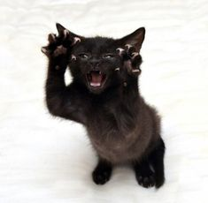 Explore the striking beauty and personalities of black cats captured on camera from the best photographers in the community. See more cats, cat love. Beautiful Cats, Animals Beautiful, Kittens Cutest, Cats And Kittens, Cats Meowing, Cute Baby Animals, Funny Animals, Animals Images, Animal Pictures