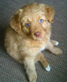 Loulou the Nova Scotia Duck Tolling Retriever I've never seen such lovely eyes! My first time to see this breed too.