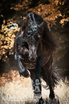 Nena, Friesian mare. Fotografie Bettina Niedermayr