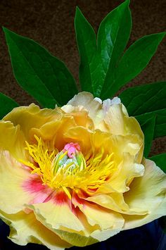 Makes a Great Peonie Tree Peony 'Garden Treasure'. Colorful Roses, Exotic Flowers, Amazing Flowers, Yellow Flowers, Beautiful Flowers, Yellow Tree, Tree Peony, Peony Flower, Flower Tree