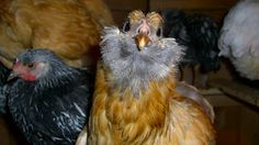 RIP Ginsberg the chicken