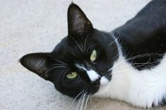 """The Exquisite Cat Tango is an adoptable Tuxedo Cat in Berkeley Heights, NJ. Dear Forever Pet Parent, Tango , by one definition is a code word for the letter """"T"""", used in international radio communicat..."""