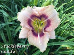 Huckleberry Candy Daylily photo by HappyGoDaylily