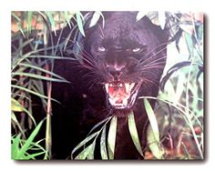 Look Amazing! Your living room will brighten up with the presence of this amazing black leopard wildlife art print poster. This poster captures the image of black leopard standing between the small plants looking at something and showing his anger is sure to grab lot of attention. It goes with all decor style and ensures durable quality with high degree of color accuracy.