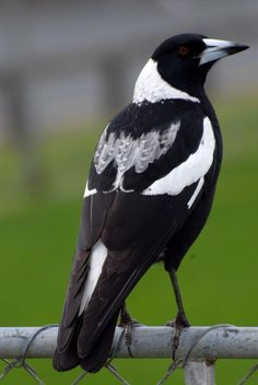 Australian magpie. Female black-backed magpie. North Shore Auckland, August 2007. Image © Peter Reese by Peter Reese