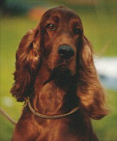 I've had three Irish Setters since I was a teenager and to me they're still the most beautiful dog in the world...