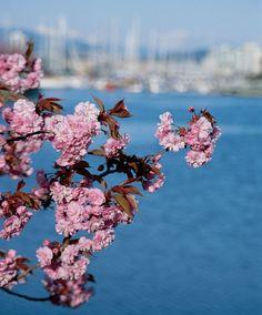 3 to Cherry Blossom Season, British Columbia, Vancouver, Seasons, Spring, Seasons Of The Year