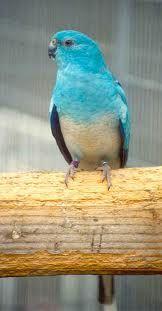 parakeets - Google Search