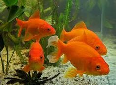 The ordinarry Gold Fish Goldfish, Pets, Animals, Animaux, Animal, Animales, Animais